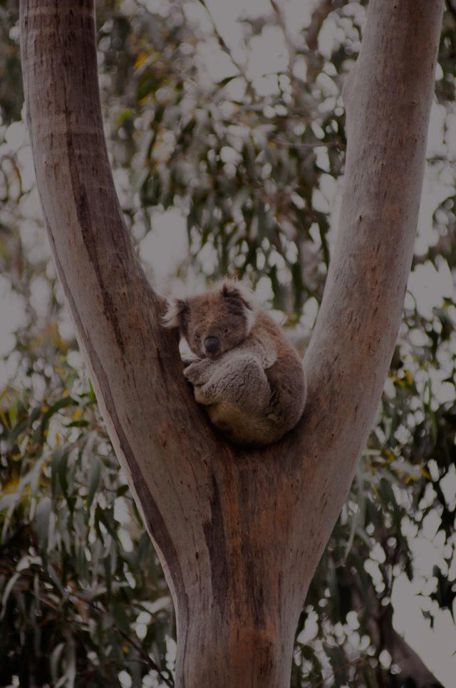 koala-PV6ZCZE-scaled